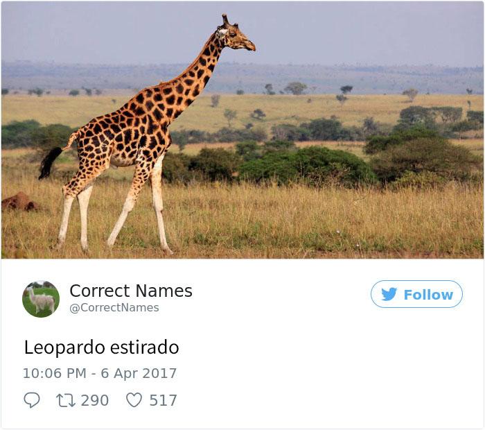 leopardo estirado
