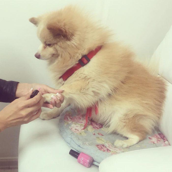 perro sentado con las uñas pintadas