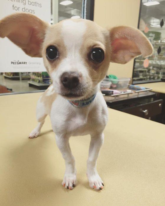 perro pequeño con las uñas pintadas