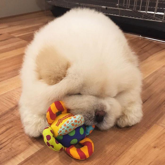 perrito blanco peludo