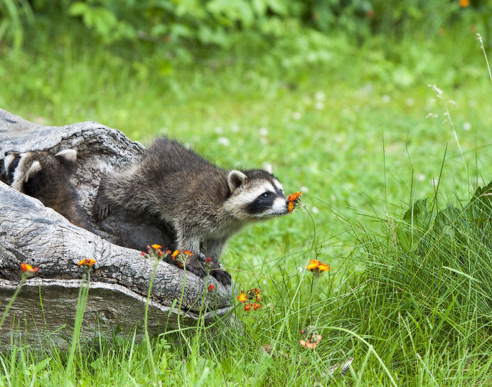 mapaches tiernos 10