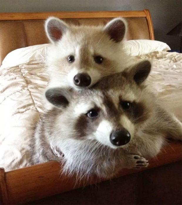 mapaches tiernos 12