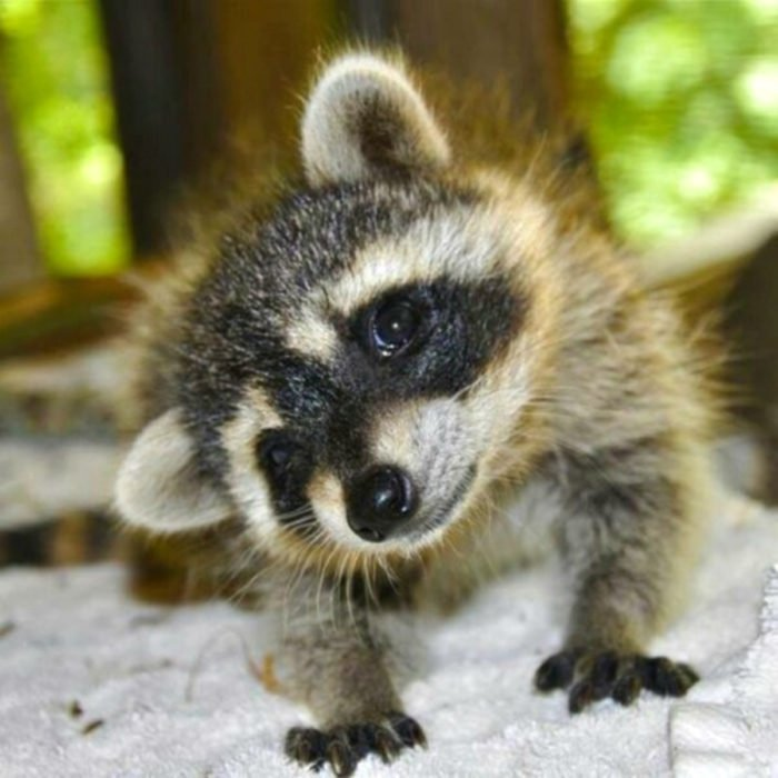 mapaches tiernos 4