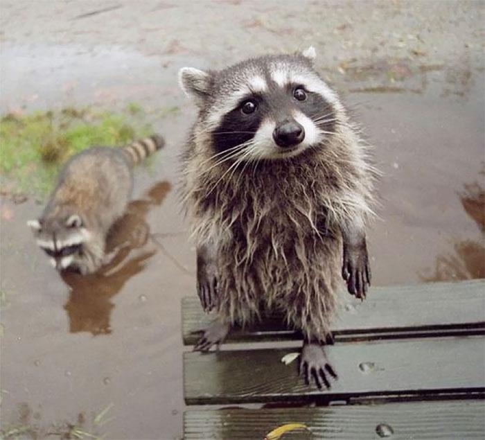 mapaches tiernos 7