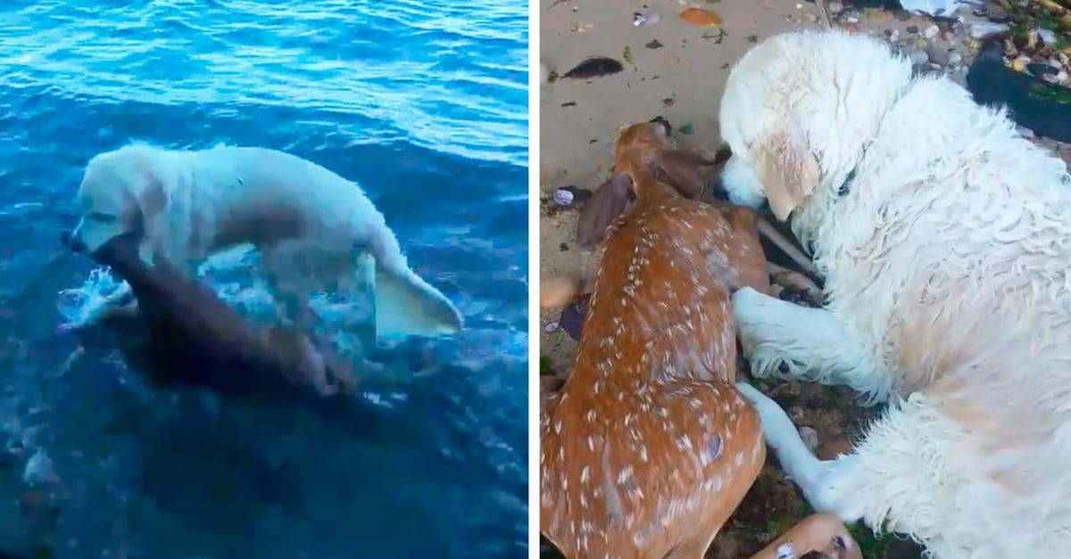 Este perro se convirtió en héroe al rescatar un ciervo de ahogarse; Internet se derrite de ternura