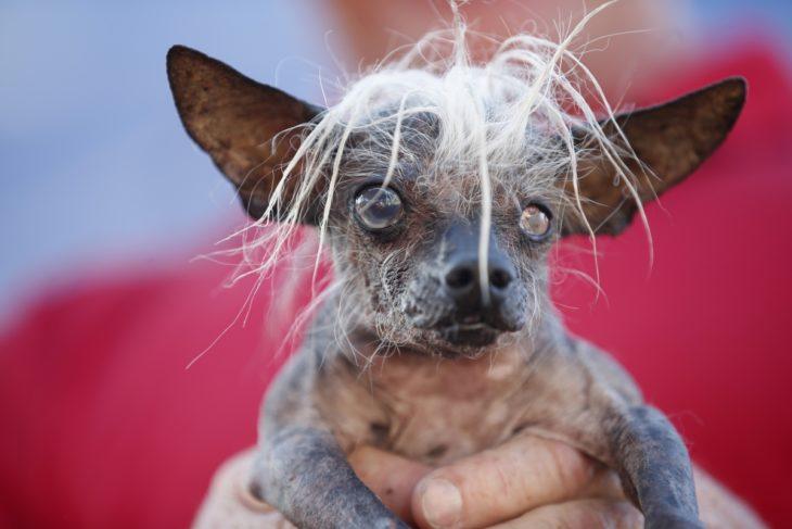 perro con poco cabello