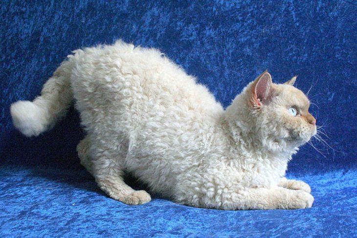 gatto seduto con peli cinesi