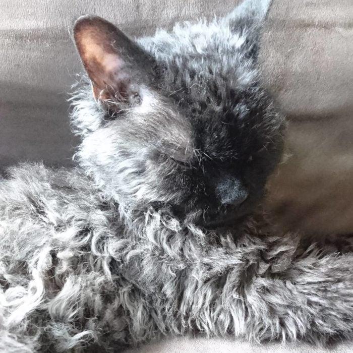 gato con cabello chino en sillon