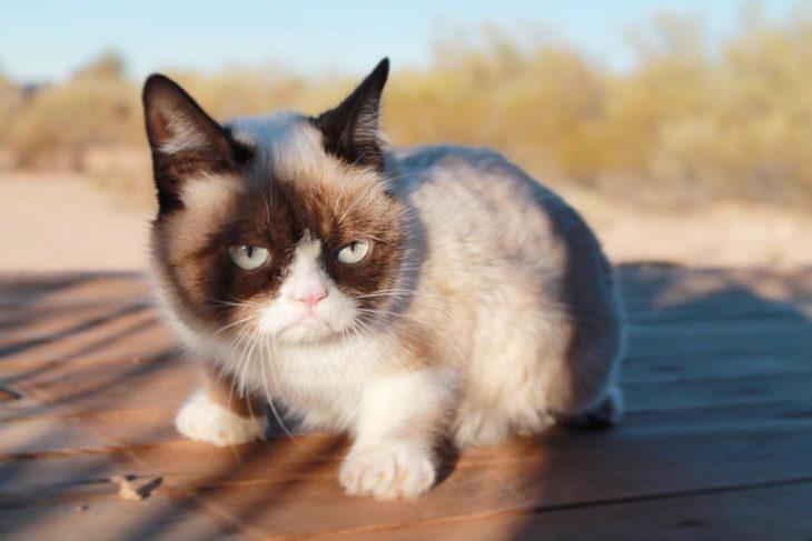 gato con cara de enojo arriba de una mesa