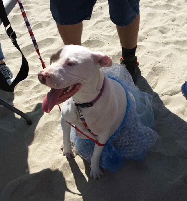 perro blanco con vestido azul