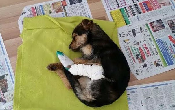 Perrita con su pierna amputada descansando sobre una cama