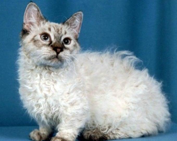 gato sentado con cabello chino