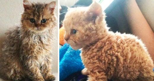 los gatos con pelaje rizado