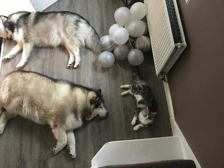 malamutes en el piso junto a un gato