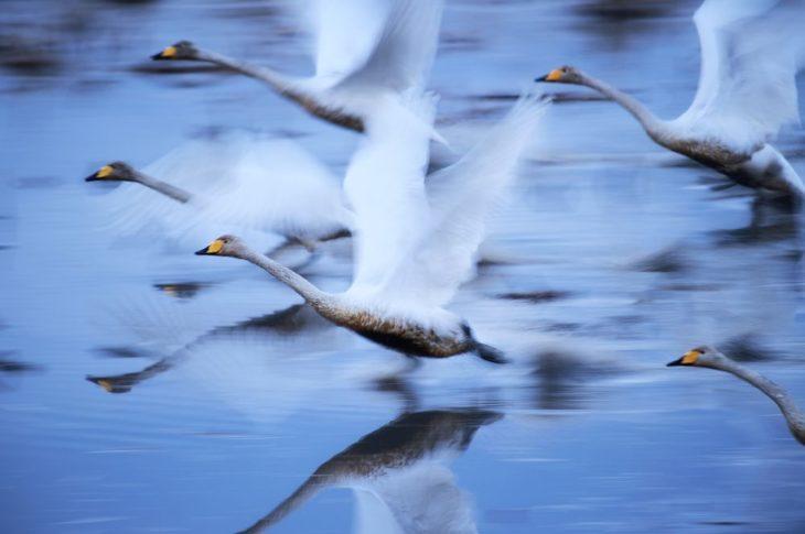 cisnes volando sobre el agua