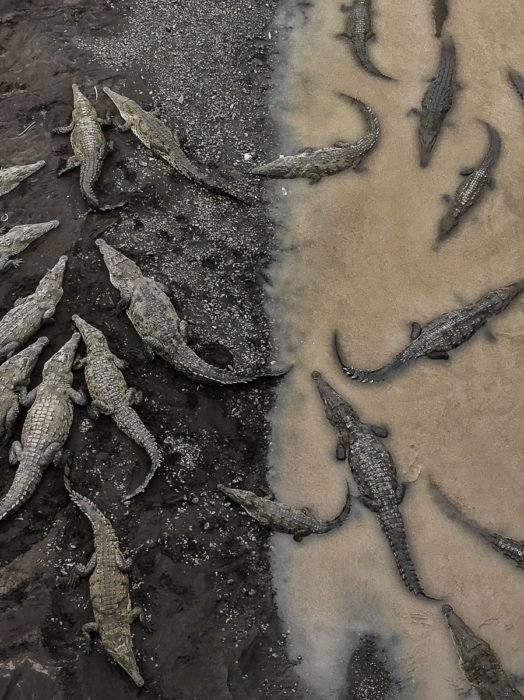 lagartos en Costa Rica