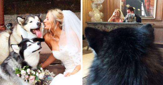 Dos hermosos perritos malamute fueron elegidos para ser los padrinos de una boda