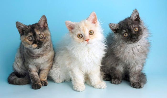 tres gatos con cabello chino