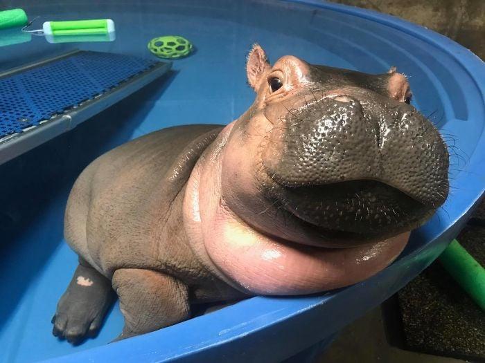 Fiona Hipopótamo que nació en un zoológico