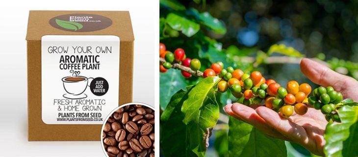 kit para cultivar tu café