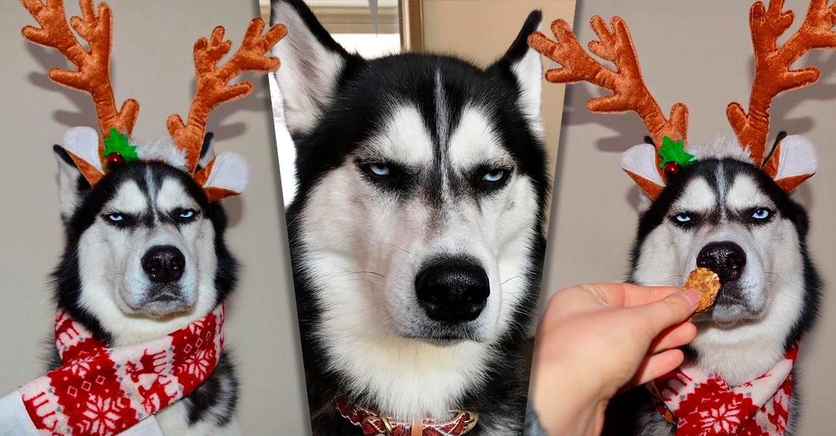 Este husky enojado es protagonista de la más divertida postal navideña