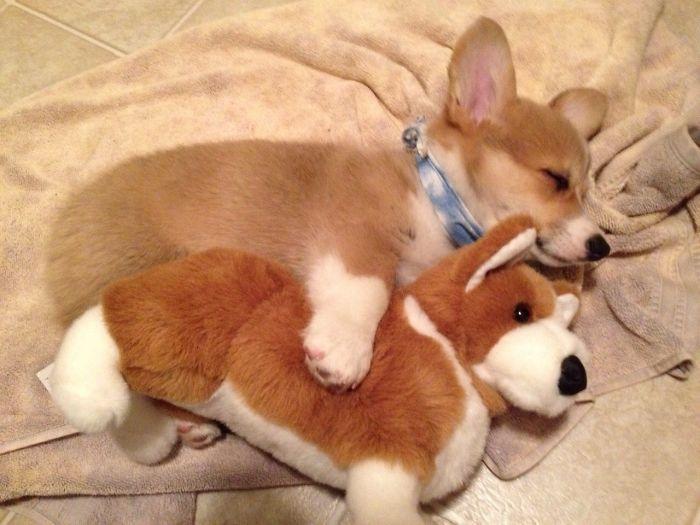 Corgi cachorro abrazando a un corgi de peluche mientras está recostado