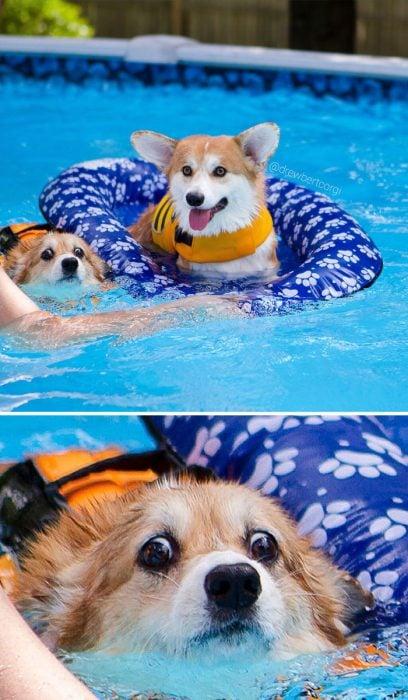 Corgi nadando en un inflable y otro nadando en una piscina