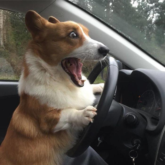 Corgi manejando un auto y sin poder frenar