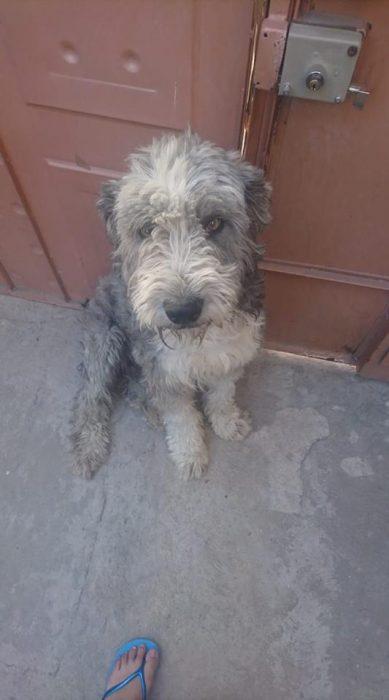 perro gris con blanco