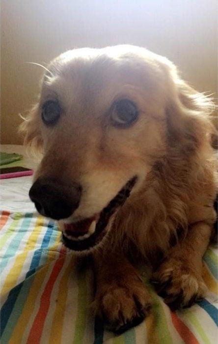 perro con pelaje dorado