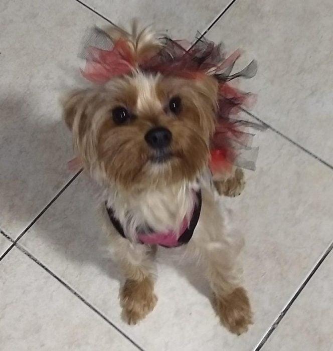 perro son moños rosas