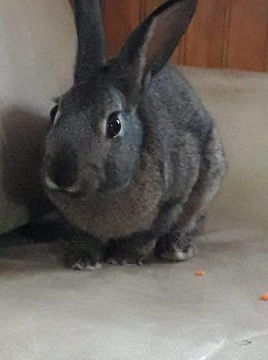 conejo de color gris