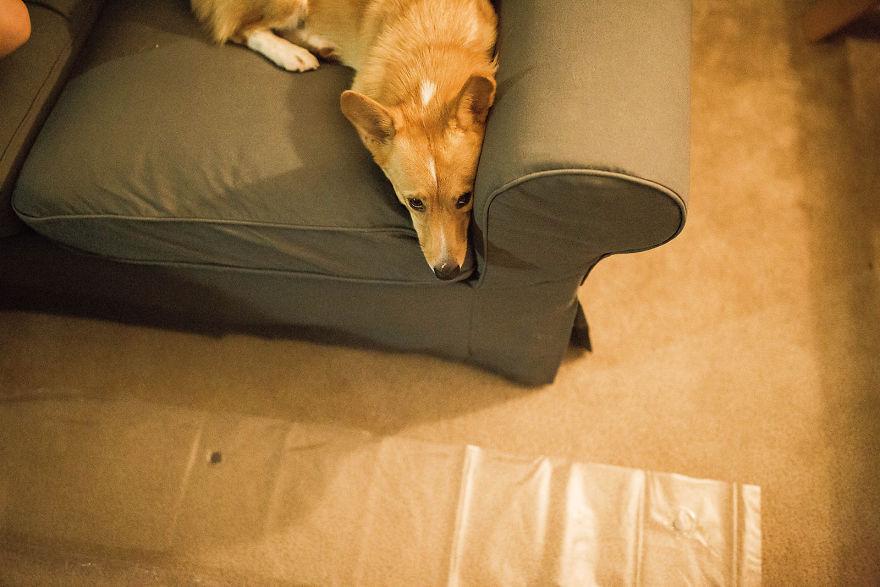 Corgui recostado en el sofá esperando a su dueña