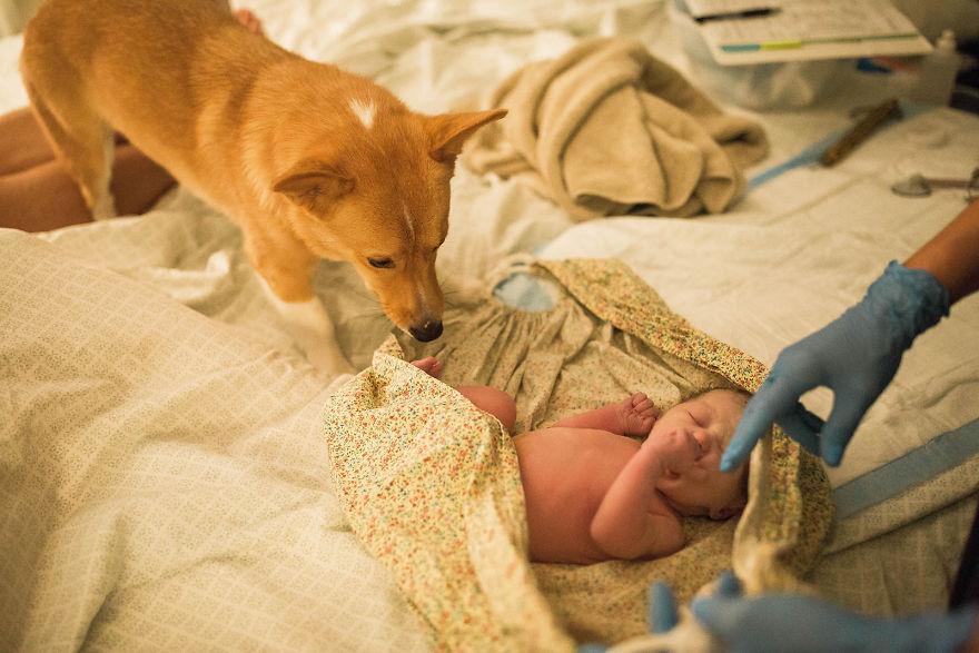 Corgui viendo a la nueva bebé de su dueña