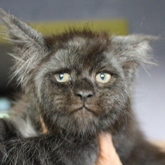 Gatito con rostro humano