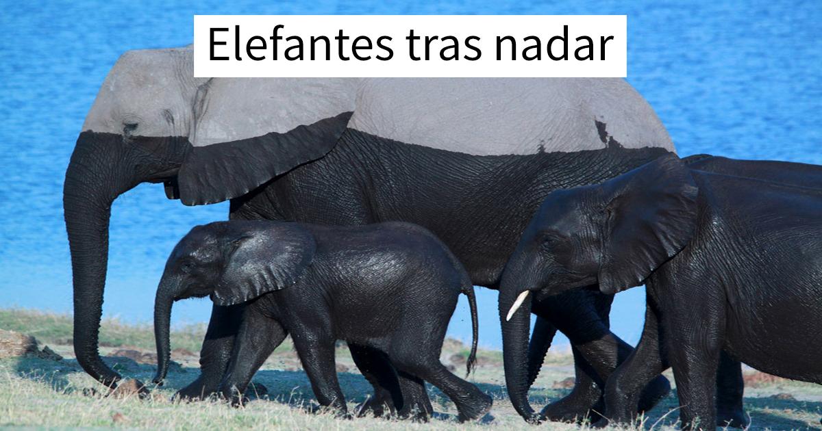 Elefantes saliendo del agua