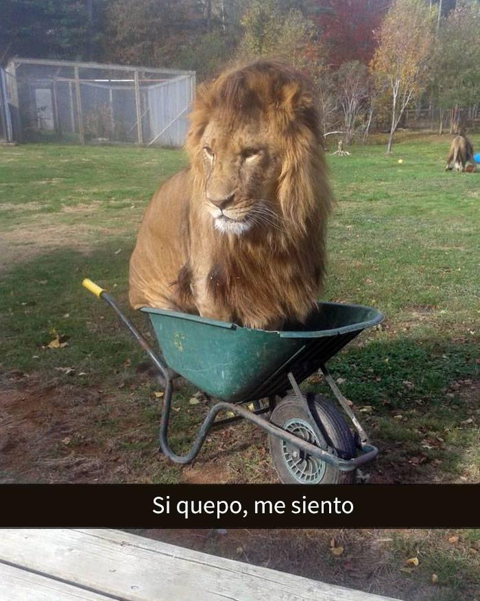 León en una carretilla