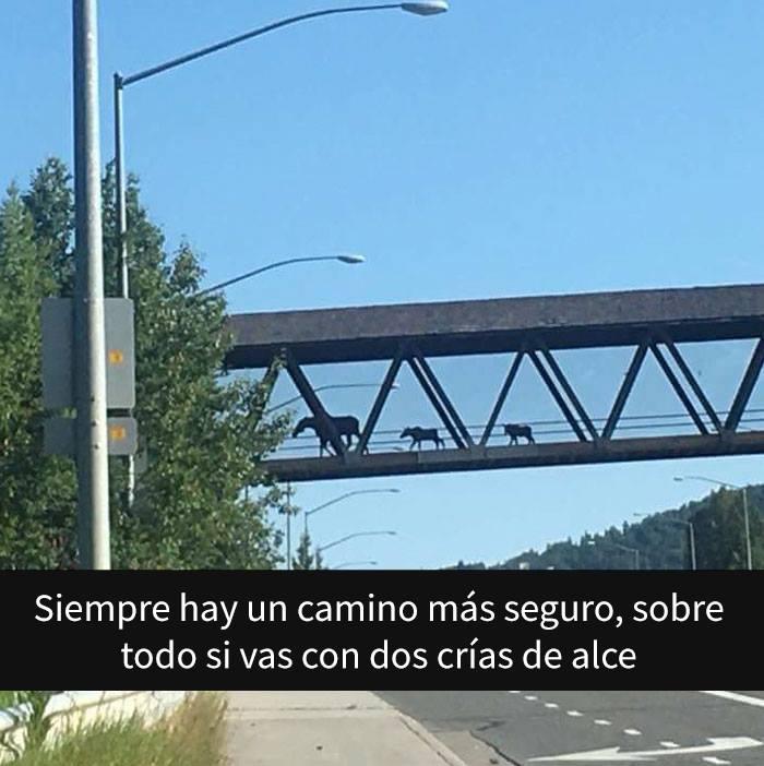 Alces caminando por un puente peatonal