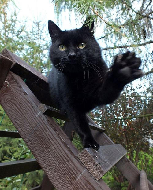 Razones por las que los gatos negros son los mejores