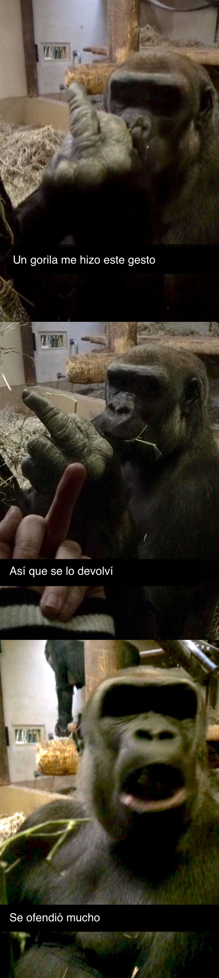 Gorila ofendido