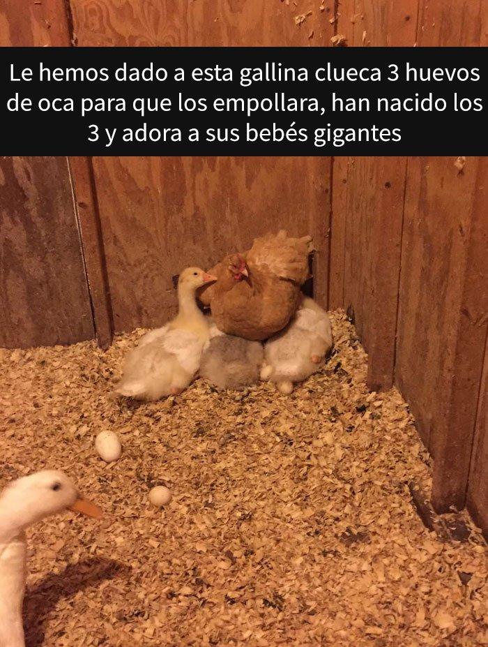 Gallina con su hijo pato
