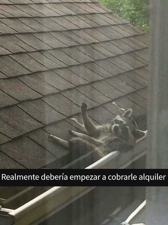 Un mapache sobre el tejado