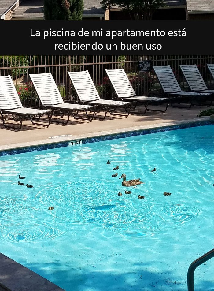 Patos nadando en piscina