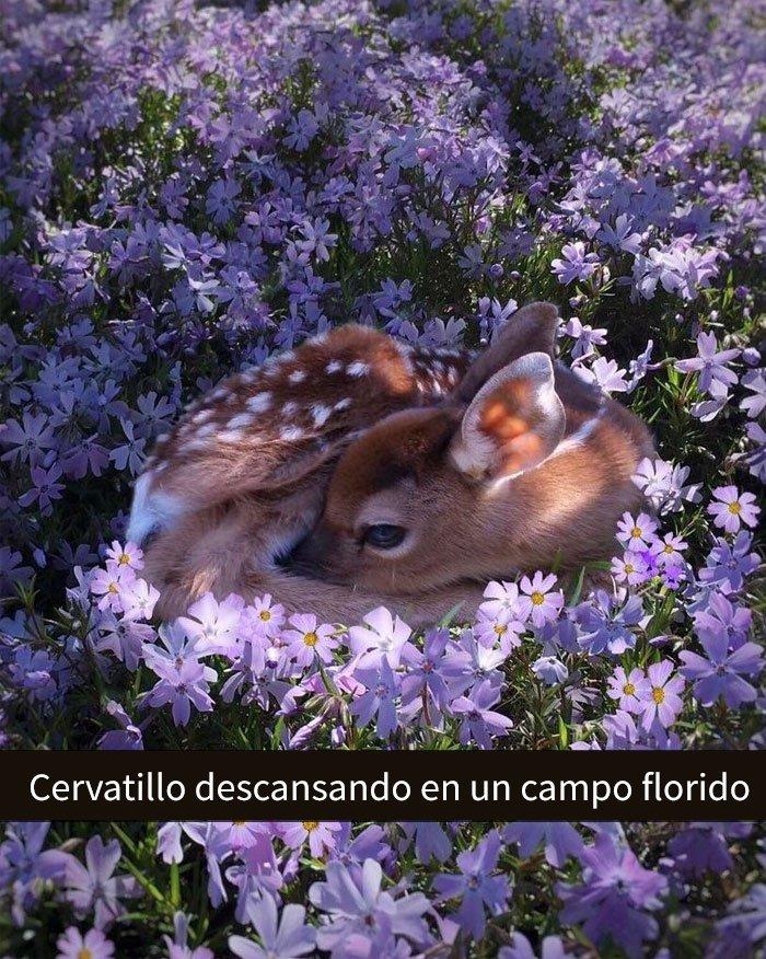 Cervatillo descansando en las flores