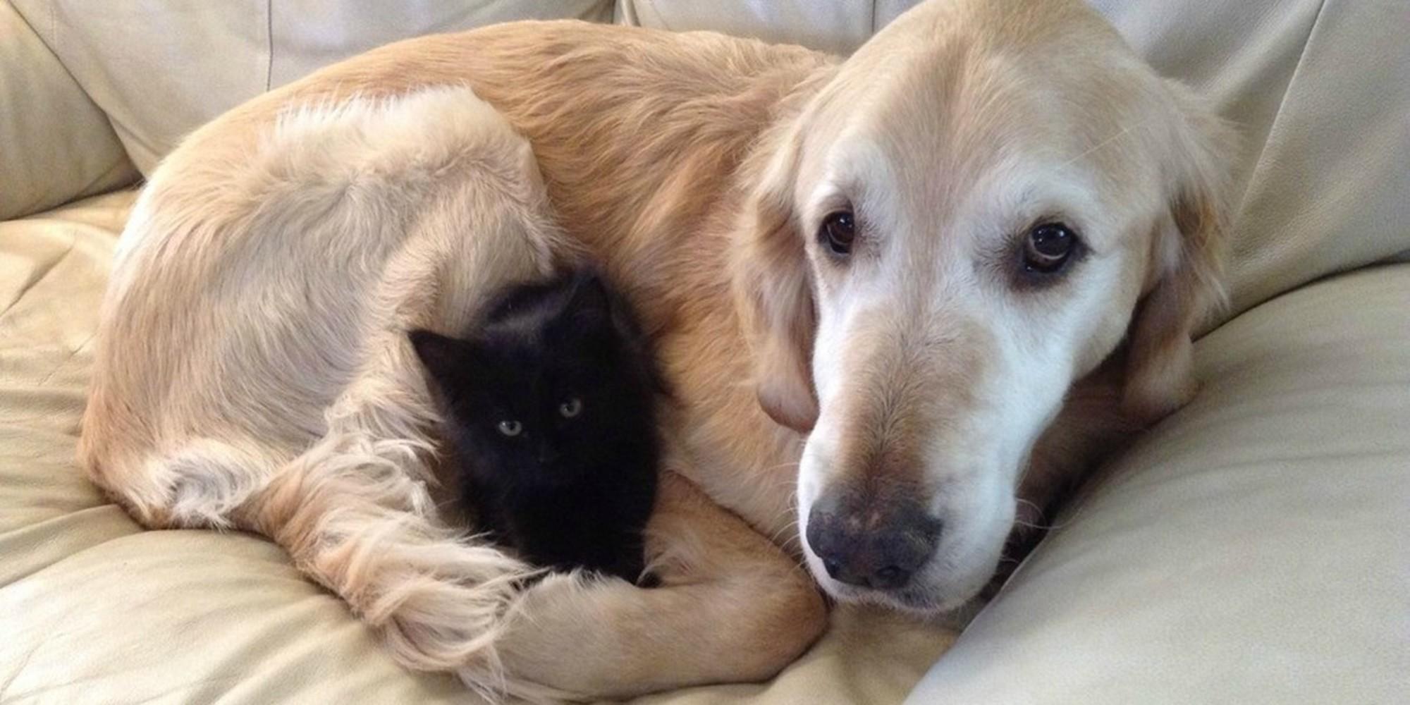 Gatito negro y perro labrador son amigos
