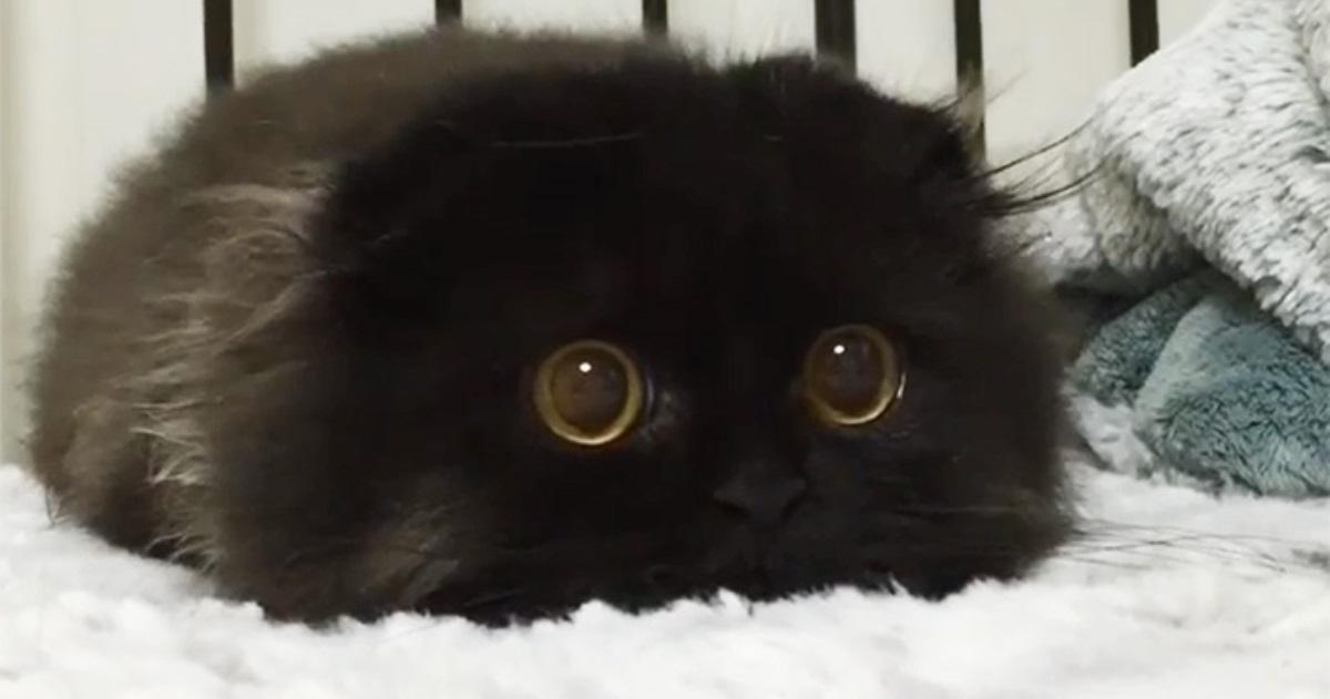 Gatito negro esponjoso