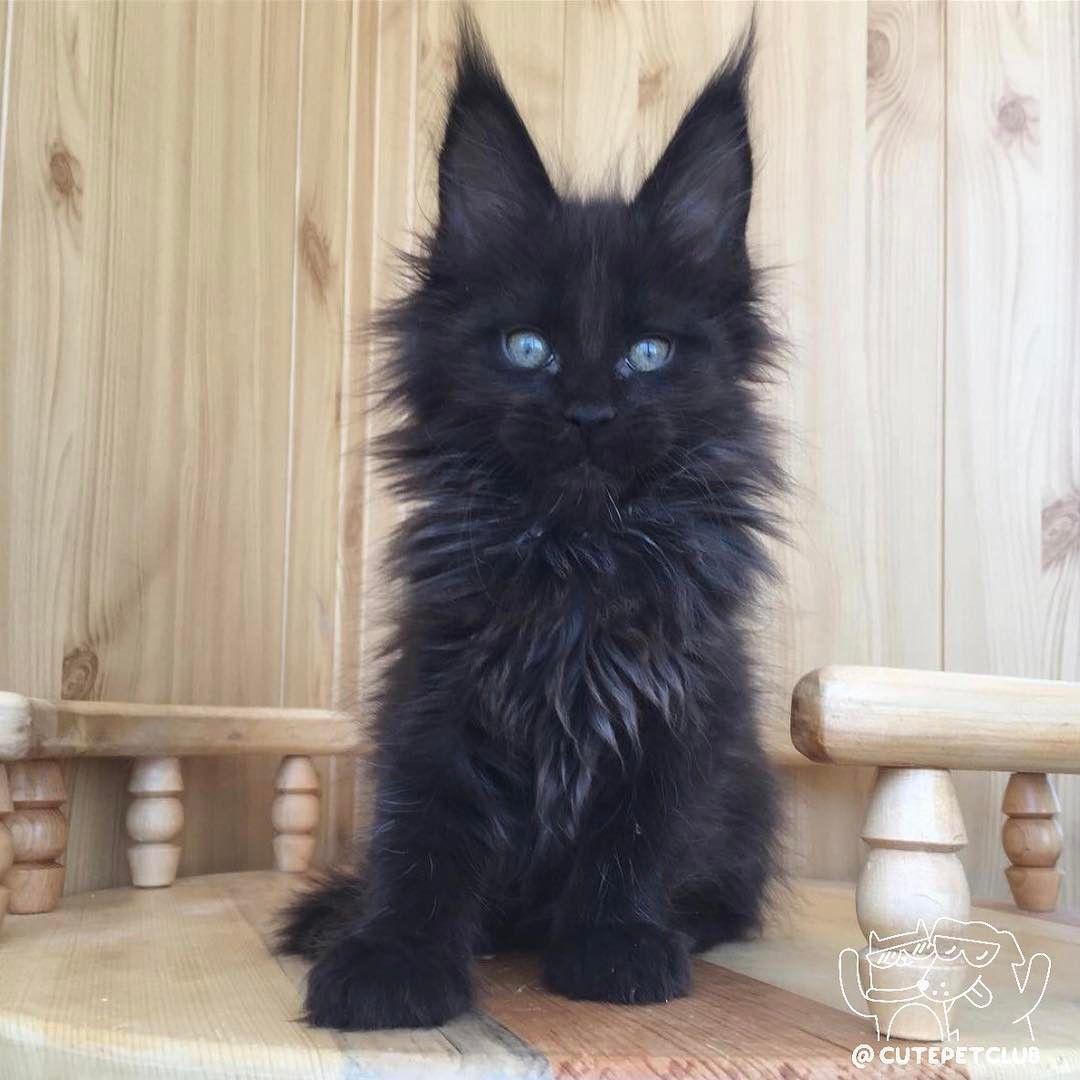 Gato negro peludo