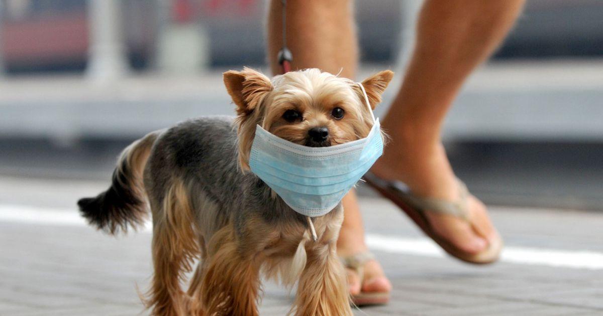 Perro con un cobrebocas caminando por la calle