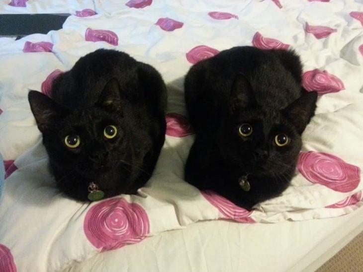 dos gatos negros con ojos verdes