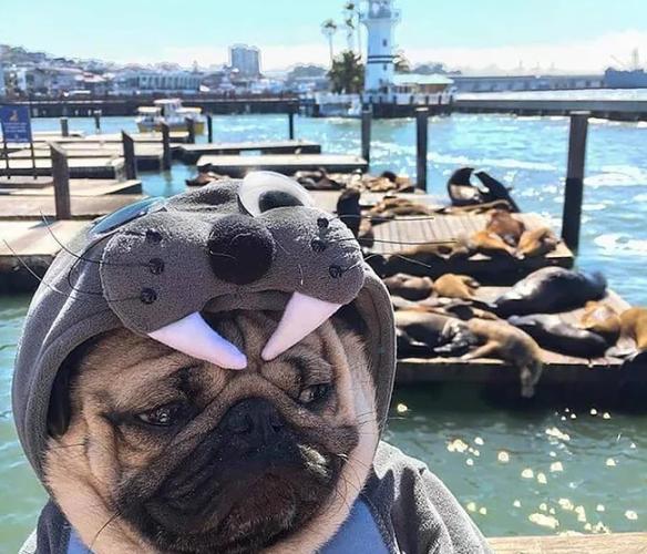 perro disfrazado de foca